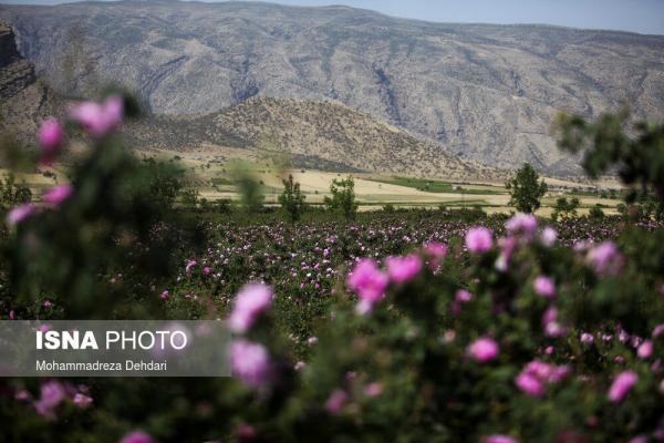 تصاویر، فصل گل و گلاب در فراق توریست