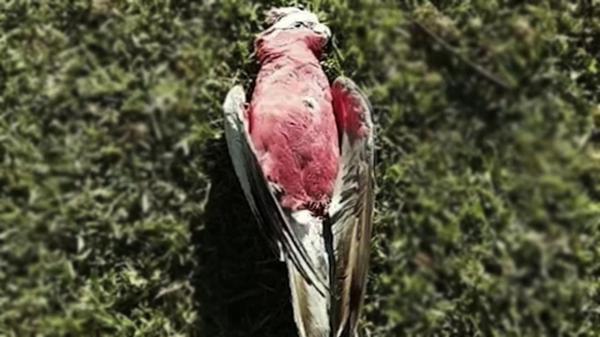 هزاران پرنده ای که قربانی مرگ موش شدند!